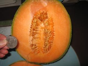 Gigantic Cantaloupe